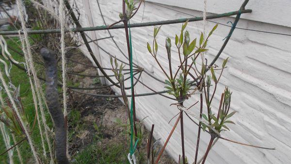 Если правильно выполнить этапы осеннего ухода - весной клематис успешно зацветет