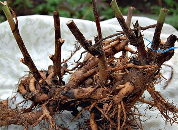 Подкормка пионов осенью необходима, так как корни продолжают развиваться