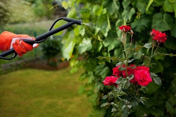 Обработку роз раствором железного купороса лучше проводить осенью